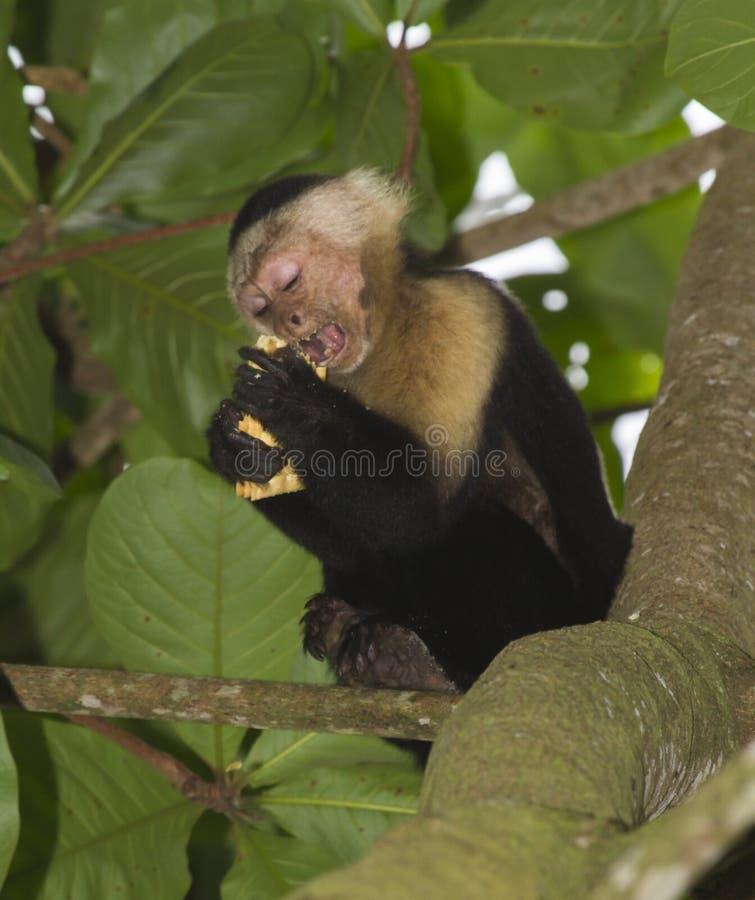 capuchin возглавил белизну стоковое фото