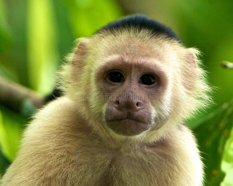 capuchin смотрел на белизну обезьяны стоковое изображение