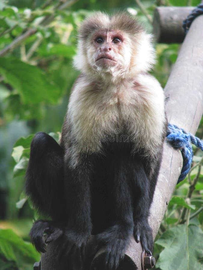 Download Capuchin στοκ εικόνα. εικόνα από επιδεμένοι, πίθηκος - 13180143