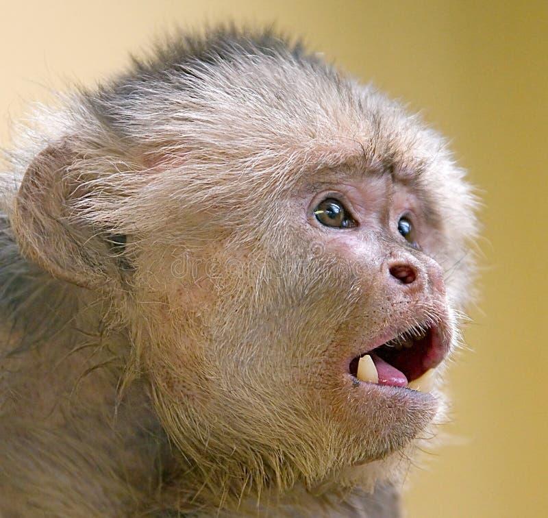 capuchin 3 αντιμετώπισε το λευκό στοκ εικόνες με δικαίωμα ελεύθερης χρήσης