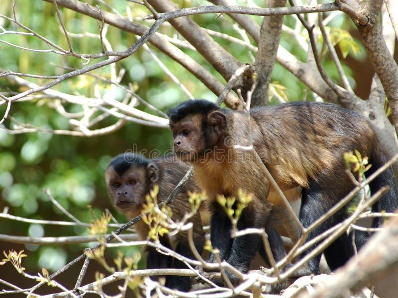 Capuchin Aap stock foto
