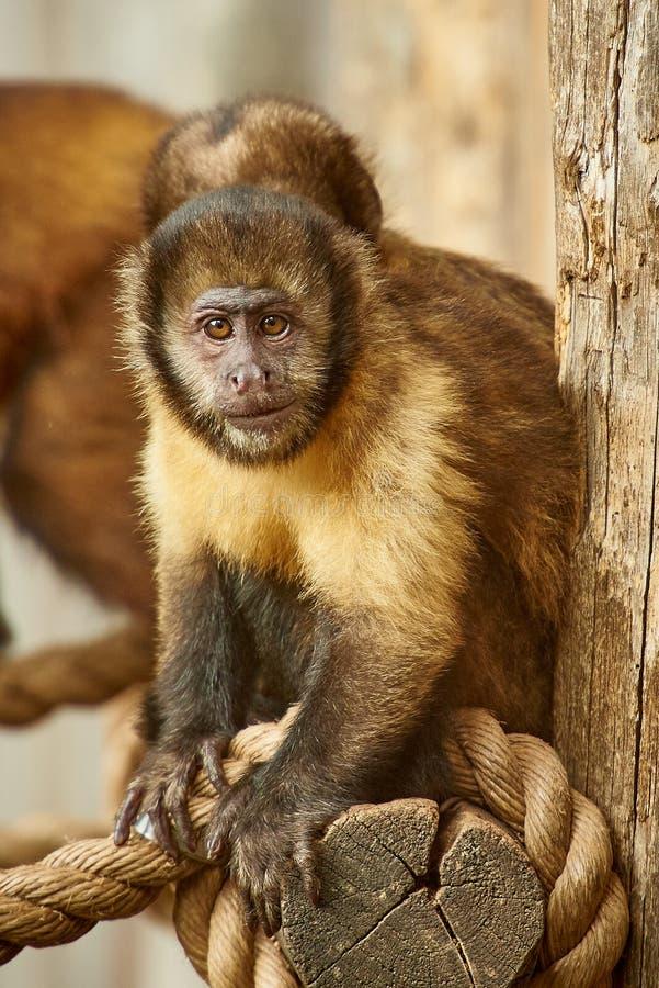 Capuchin aap royalty-vrije stock foto's