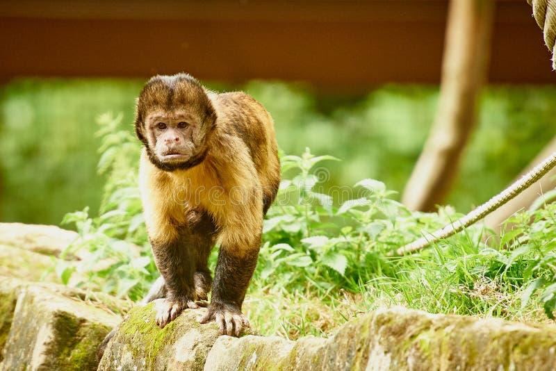 Capuchin aap stock afbeelding