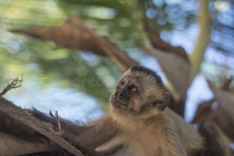 Capuchin aap, Maranhao-staat, Brazilië royalty-vrije stock afbeeldingen