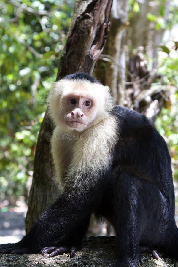 Capuchin Aap VI stock fotografie