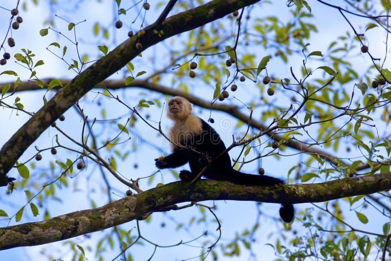 Capuchin affrontato bianco fotografia stock