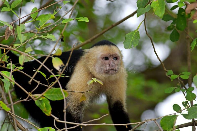 Capuchin affrontato bianco fotografie stock