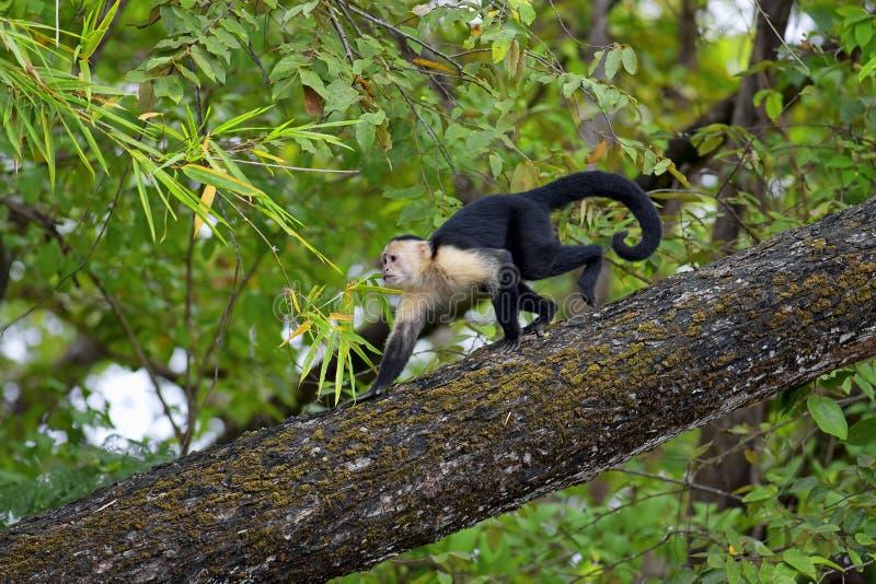 Capuchin affrontato bianco fotografia stock libera da diritti