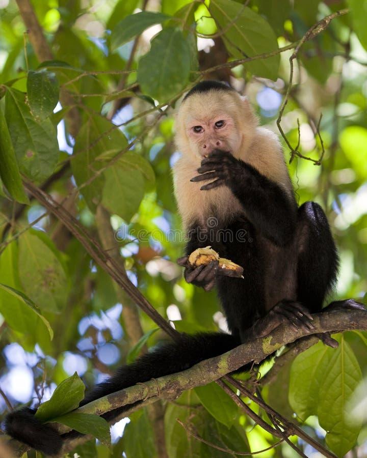 capuchin bananowy łasowanie stawiał czoło biel zdjęcie stock