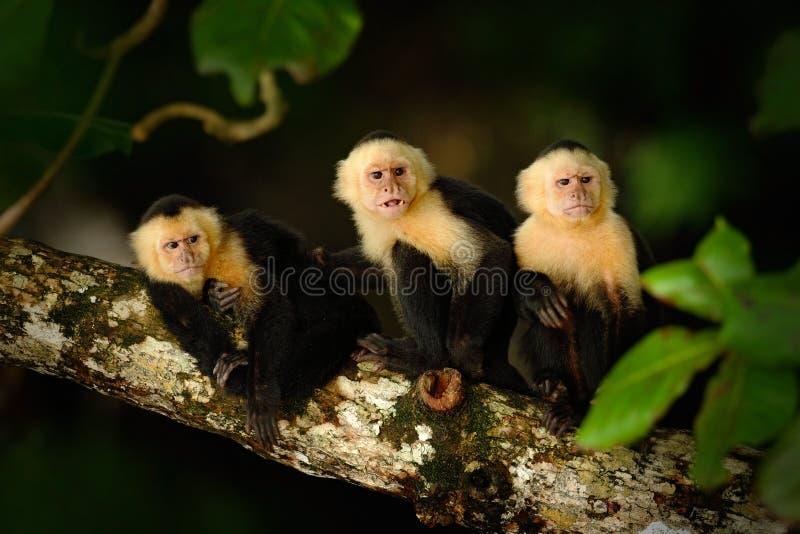 Capuchin Branco-dirigido, capucinus de Cebus, macaco preto que senta-se no ramo de árvore na floresta tropica escura, animal na n foto de stock royalty free