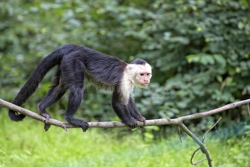 Capuchin Branco-throated no selvagem imagem de stock royalty free