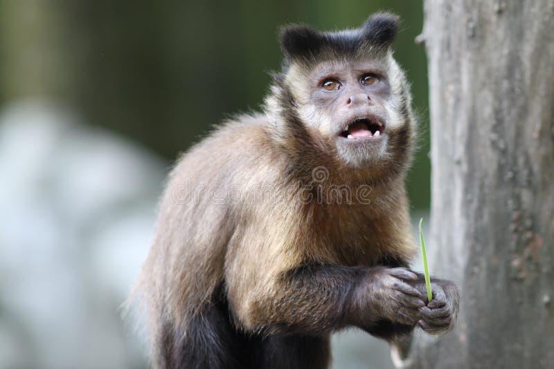 Capuchin-Fallhammer lizenzfreie stockfotografie