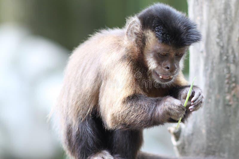 Capuchin-Fallhammer stockbilder