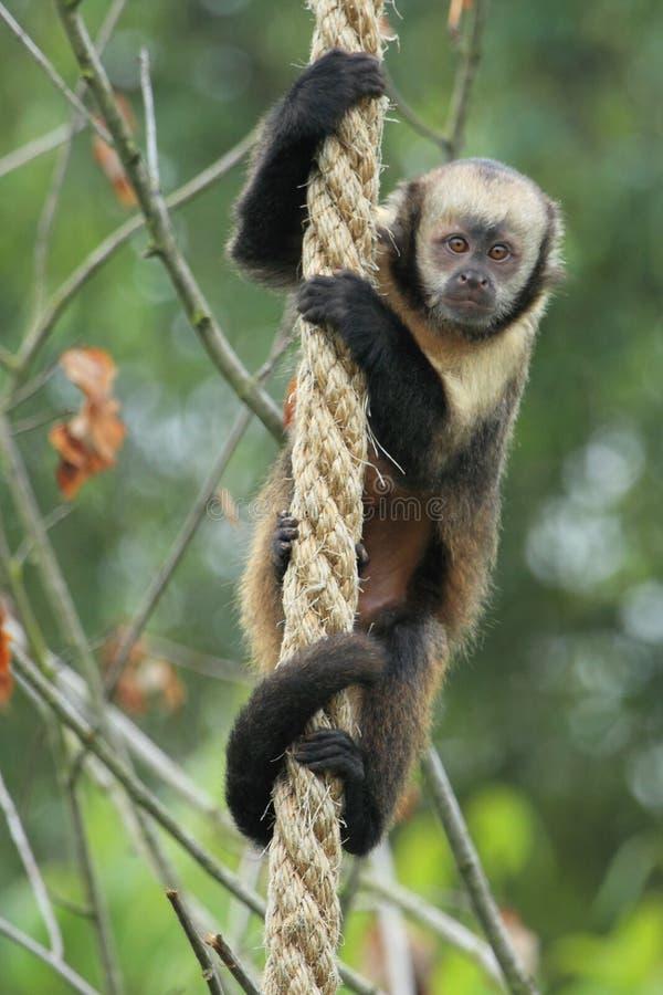 Capuchin Giallo-breasted fotografie stock