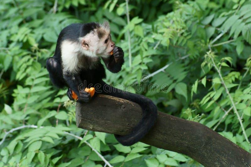 Capuchin małpa bierze jego lunch obraz royalty free