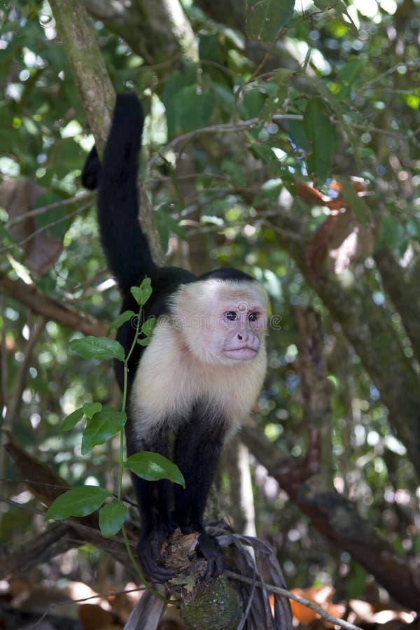 capuchin małpa ii obraz royalty free
