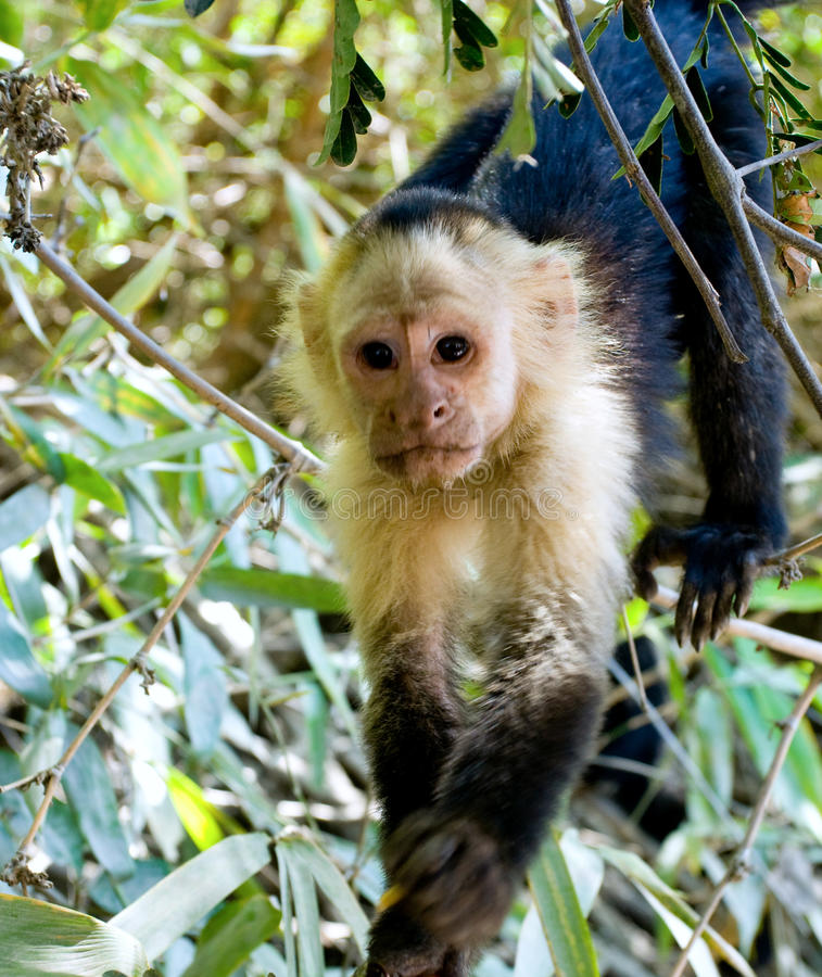 Download Capuchin Monkey stock photo. Image of forests, omnivores - 18286792