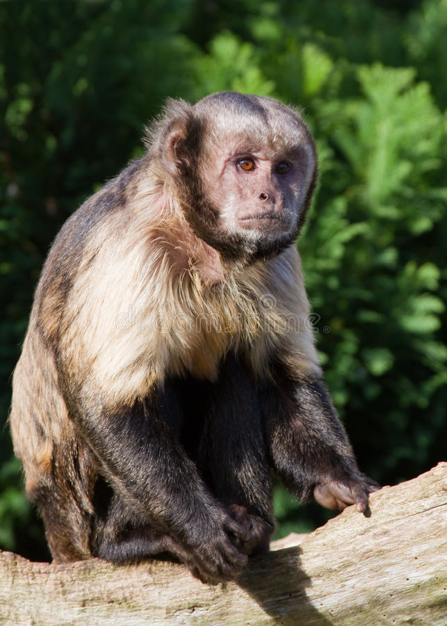 Capuchin Monkey. From Costa rica resting on a branch royalty free stock photos