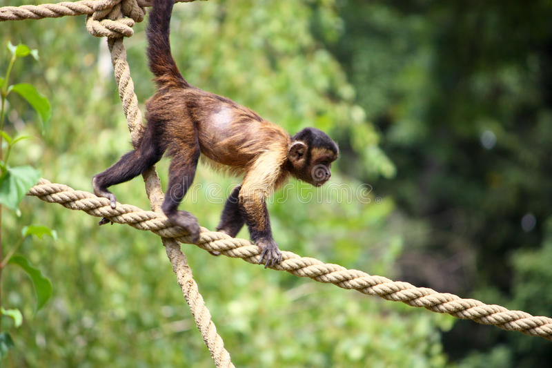 Capuchin monkey. Small brown capuchin monkey on the ropes royalty free stock photography