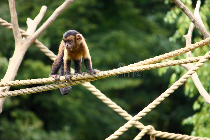Capuchin monkey. Small brown capuchin monkey on the ropes stock images