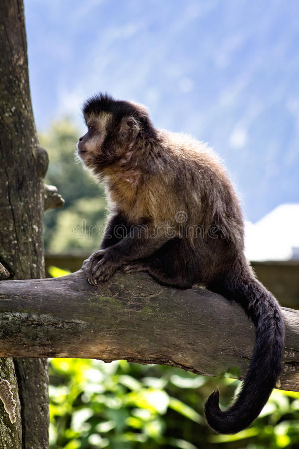 Capuchin monkey. At the branch royalty free stock photo