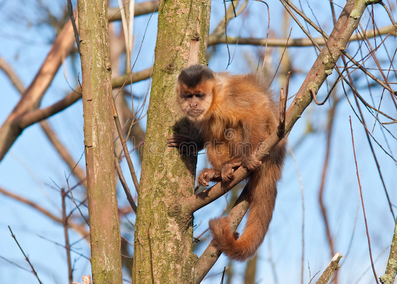Capuchin Monkey. Climbing in tree royalty free stock images