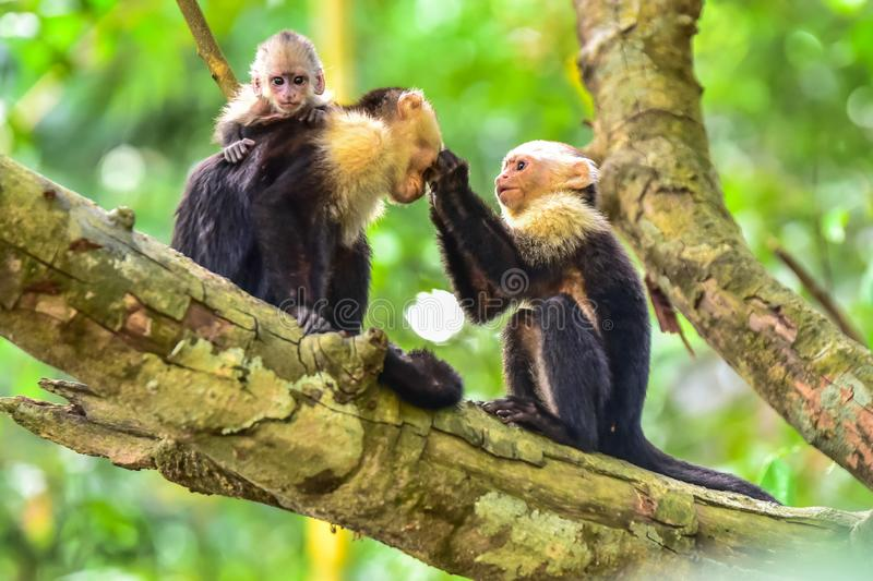 Capuchin Monkey on branch of tree - animals in wilderness stock images