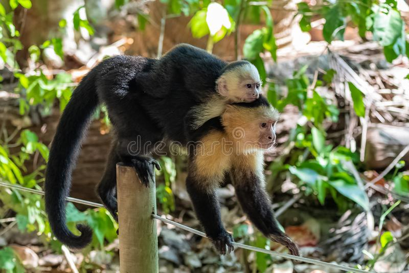 Capuchin, monkey. In the jungle, mother and baby on its back, Costa Rica stock image