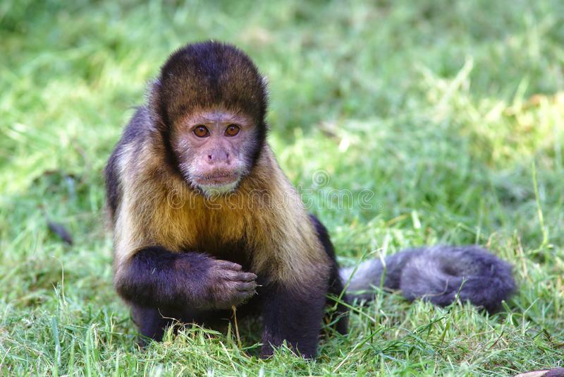 Capuchin Monkey. A capuchin monkey sitting on the grass. Capuchins are known as organ-grinders because of their association with travelling entertainers from the royalty free stock photo