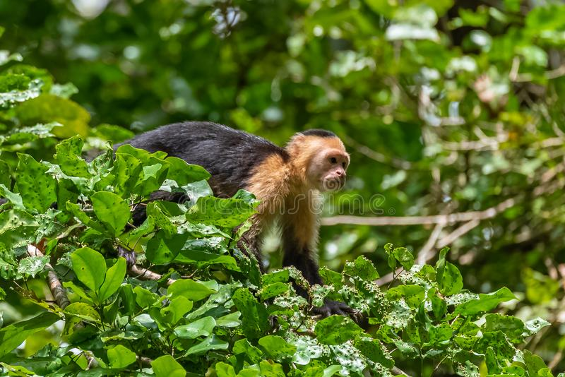 Capuchin, monkey. On a tree in the jungle, Costa Rica royalty free stock photos