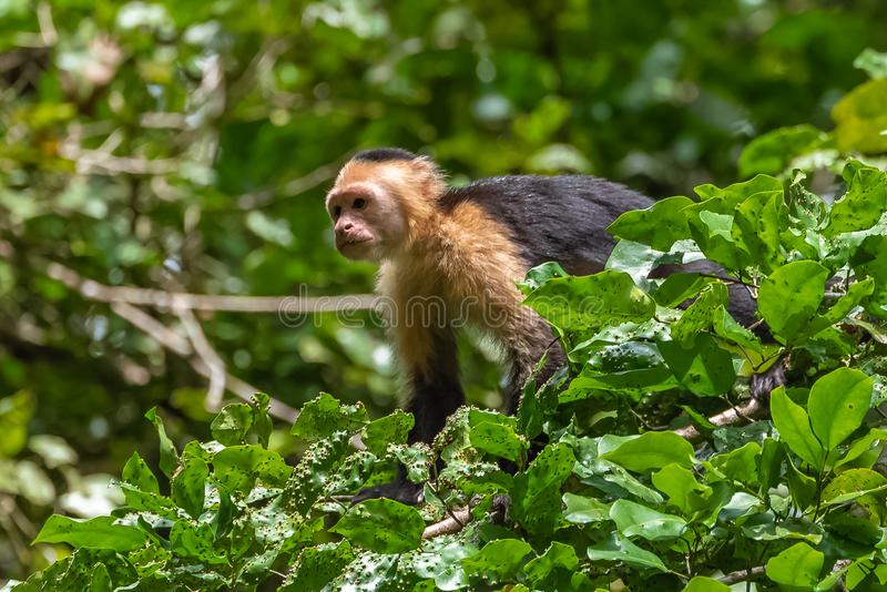 Capuchin, monkey. On a tree in the jungle, Costa Rica stock image