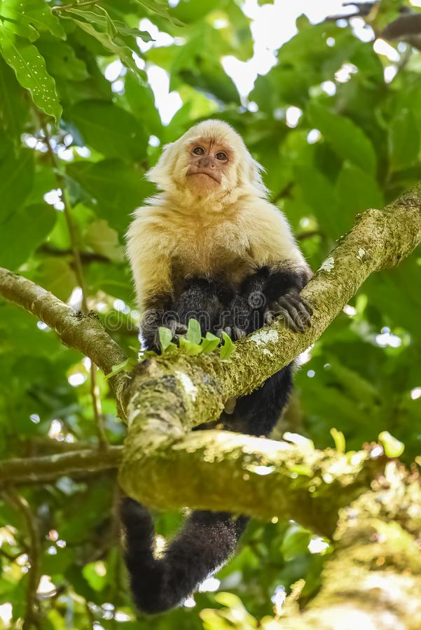 A capuchin, monkey. On a tree in the jungle, Costa Rica royalty free stock images