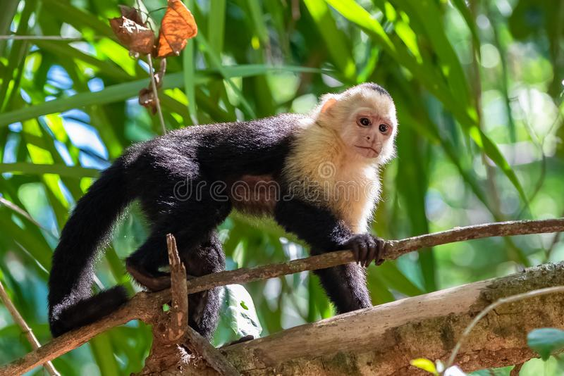 Capuchin, monkey. On a tree in the jungle, Costa Rica stock photography