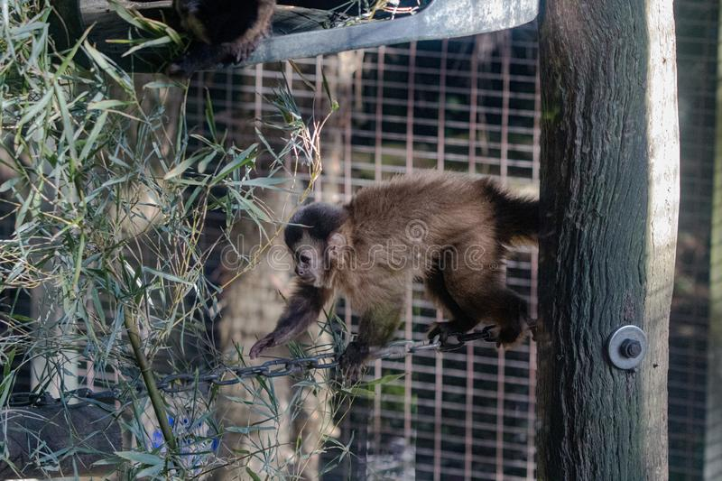 Capuchin Monkey climbing across a chain in its enclosure stock images