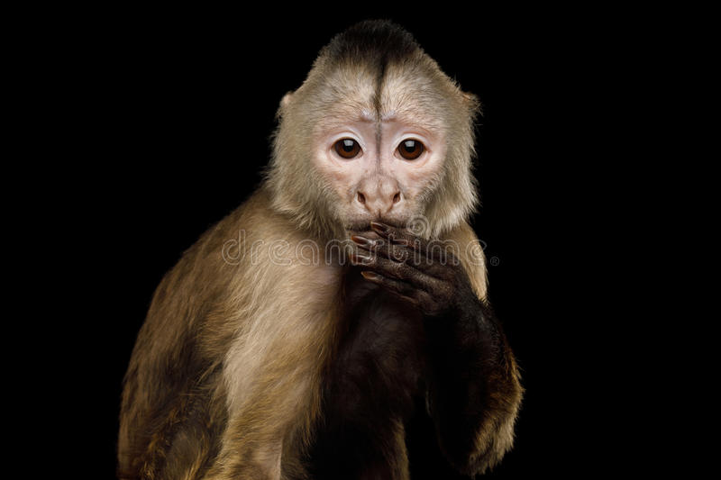 Capuchin Monkey. Close up Portrait of Funny Capuchin Monkey Hanging hand on mouth, Isolated on Black Background, Said The Wrong Thing royalty free stock images