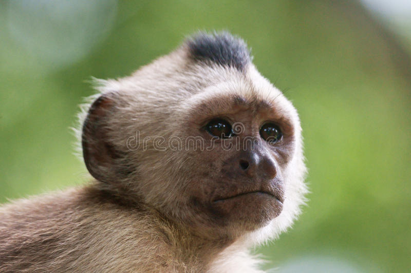 Capuchin monkey. A distracted capuchin monkey on a branch in the Cachamay park, river Caroni royalty free stock photo