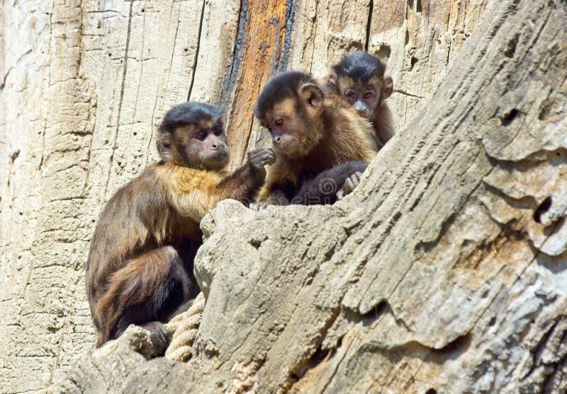 Capuchin monkey family. On the rock royalty free stock photos