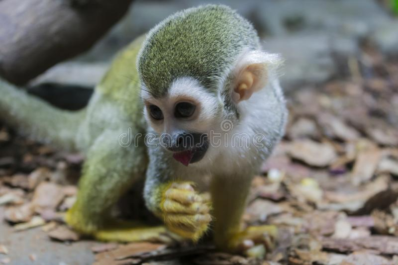 Capuchin monkey with a piece of apple. In its mouth sits on the ground stock photos