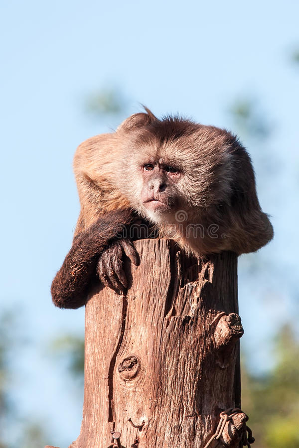 Download Capuchin stock photo. Image of juvenile, expression, africa - 33298972