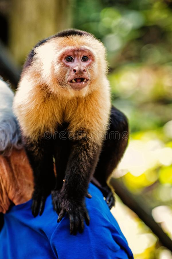 Capuchin monkey sitting on male shoulder in Honduras. On sunny summer day on natural blurred background. Wildlife, wild animals and nature concept royalty free stock photos