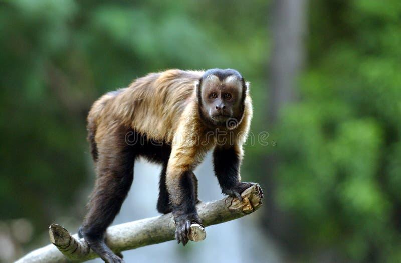 Capuchin monkey. In Surabaya zoo, East Java, Indonesia stock photos