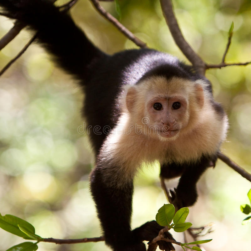 Capuchin monkey in a tree. Capuchin monkey sitting in a tree royalty free stock images