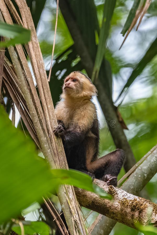 Capuchin, monkey. On a tree in the jungle, Costa Rica royalty free stock photo