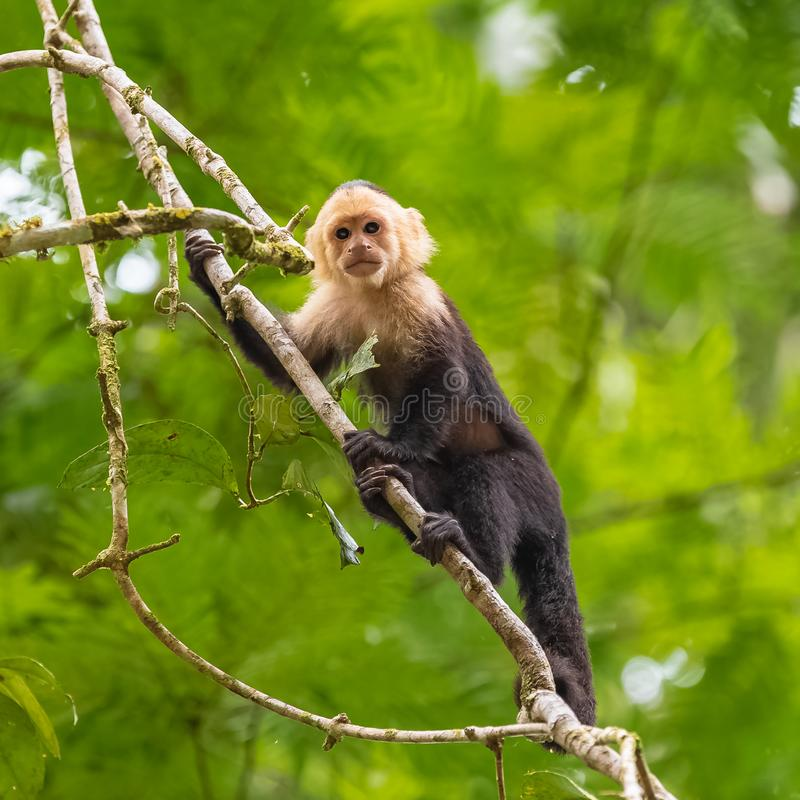 Capuchin, monkey. On a tree in the jungle, Costa Rica stock photos