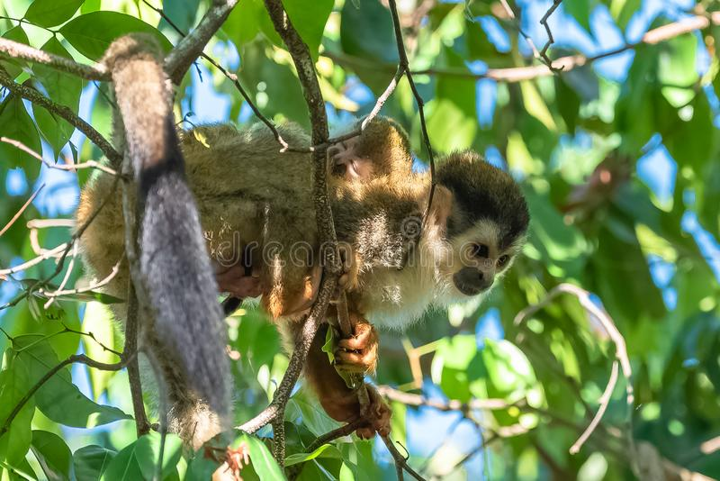 Capuchin, monkey. On a tree in the jungle, mother and baby on its back, Costa Rica stock images