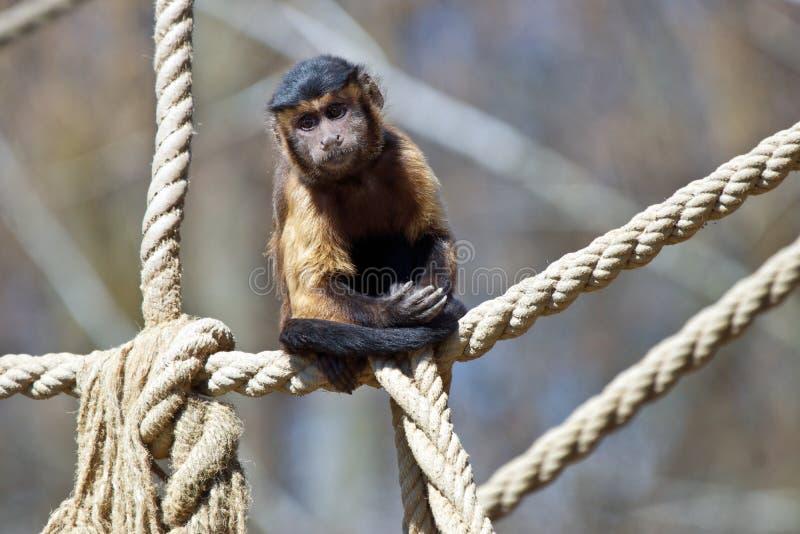 Capuchin monkey. In the zoo stock photo