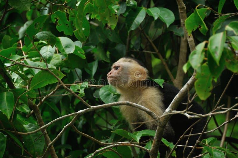 capuchin stawiał czoło biel zdjęcia royalty free