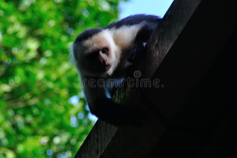 capuchin stawiał czoło biel zdjęcie stock