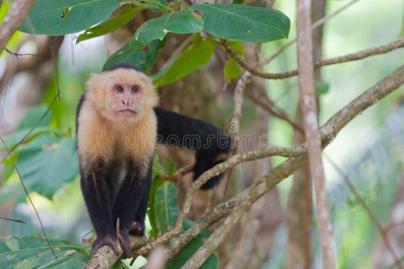 capuchin stawiający czoło małpi biel zdjęcia stock
