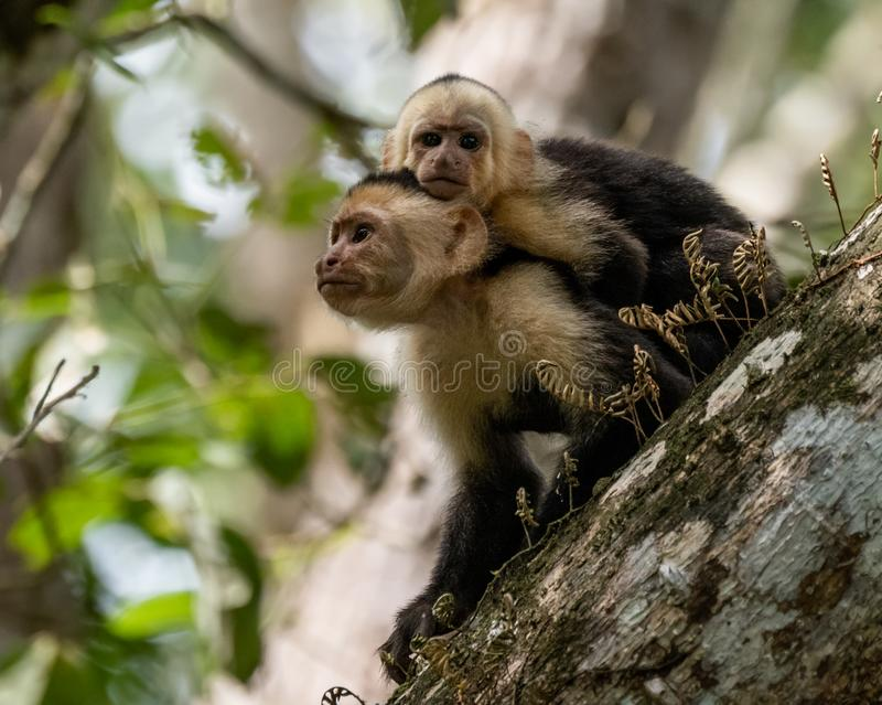 Capuchin White Faced Monkey Portrait stock photography